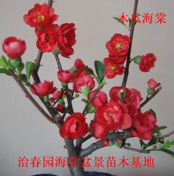 临沂治春园海棠盆景苗木基地