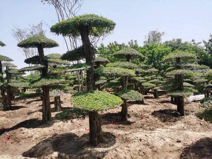 山東泰安対節白蠟造型樹
